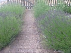 The Lavender path in my garden