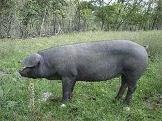 The Wolfe family raises Large Black Hogs on their homestead…