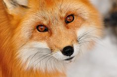 The most beautiful Fox I have EVER seen! I love these little guys~ Original saying for this > > > fox fox fox!