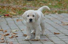 yellow Labrador puppy from Devonshire Labradors #LabradorRetriever