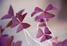 Shades of St. Patrick's Day in The BULLETIN at Terrain #oxalis