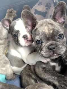 Everything About The Friendly Frenchie Pups - French Bulldog - Super Cute Puppies, Baby Animals Super Cute, Cute Baby Dogs, Cute Little Puppies, Cute Dogs And Puppies, Cute Little Animals, Cute Funny Animals, Doggies, Baby Pugs