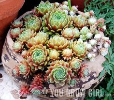 Planting a Sempervivum Trough --  Because my roses need some friends!