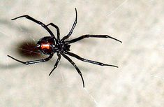 30 best spiders images black widow black widow spider insects rh pinterest com