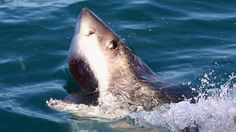 Great white shark caught on video near San Francisco surfers - CBS News