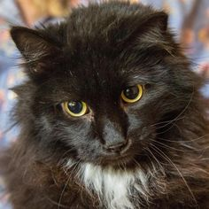 Meet Chocolate Lace, a Petfinder adoptable Maine Coon Cat | Ramona, CA | Hello hello ... under all that fur I am a sweet but very shy girl. My name is Chocolate Lace and I...