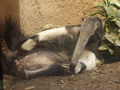 Giant Anteater at the Cincinnati Zoo. Photo by Ltshears, Wikimedia Commons