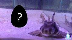 Most people have probably never even seen a Horn Shark. They also probably don't know that they hatch from eggs when they are born. The Horn Shark's egg is one of the most unique egg cases that I have ever seen. This is what it looks like... Horn Shark, Shark S, Aquarium Sharks, Horns, Eggs, Cases, Unique, People, Horn