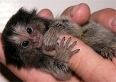 The pygmy marmoset or dwarf monkey is a New World monkey native to the rainforest canopies of western Brazil, southeastern Colombia, eastern Ecuador, eastern Peru, and northern Bolivia. It is one of the smallest primates, and the smallest true monkey, with its body length ranging from 14 to 16 centimetres (5.5 to 6.3 in) (excluding the 15-to-20-centimetre (5.9 to 7.9 in) tail).[4] Males weigh around 140 grams (4.9 oz), and females only 120 grams (4.2 oz).