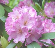 Rhododendron 'Rona Pink'