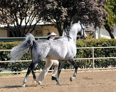 Mirage V 2001 Arabian (Desperado V x Misti V, Bravado Bey V) 2012 U.S. National Champion Sport Horse Stallions In-Hand ATH 2012 U.S. National Champion Dressage Intermediate I 4x U.S. National Reserve Champion 10x U.S. National Top Ten 15x Regional Champion Legion of Masters and Excellence Champion in: Stallion Halter, Working Cow Horse, Western Pleasure, Sport Horse In-Hand, Sport Horse Under Saddle, Dressage (Training , First Second, Third , Fourth , Prix St. Georges, Intermediate I).