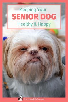 Giving you the best ways to keep your aging Shih Tzu fit, comfortable and happy. #seniordogcare #shihtzu #everythingshihtzu, #doghealth Small Mixed Breed Dogs, Cutest Small Dog Breeds, Best Small Dogs, Cute Small Dogs, Shih Tzu Poodle, Shih Tzu Dog, Dog Care Tips, Pet Care, Doggies