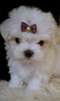 Little Maltese Puppy <3 a friend for Lucy and ruby