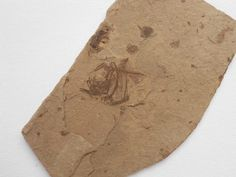 Argyropelecus, Oligocene, Menilite Beds, Carpathian Mountains, Poland, matrix measuring 4,9 cm x 8,2 cm; Photo © akfs