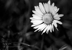 Daisy by maxrastello #nature #mothernature #travel #traveling #vacation #visiting #trip #holiday #tourism #tourist #photooftheday #amazing #picoftheday