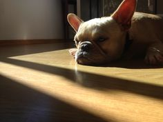 Jus' thinkin' Sophia the French Bulldog