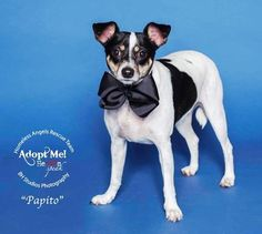 Say hello to Papito! He is a Basenji mix , 4 yrs. old, calm, friendly, and appreciates the serenity of life. He plays well with other dogs and doesn't mind cats at all. He is house-trained, crate-trained, and very well-mannered. Do you have room for...