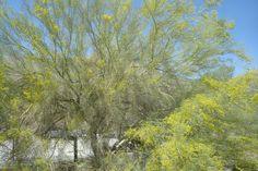 Blooming Parkinsonia tree!