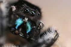 With their fearsome fangs and rippling legs, spiders strike fear into the hearts of many. Now there's a new reason for arachnophobes to worry – jumping spiders can hear sounds over much greater distances than previously thought