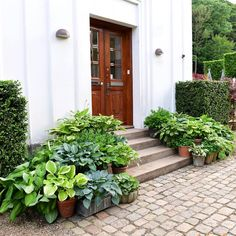 to do -= Our entrance with hostas in pots ... #blomster #flowers #clausdalby #garden