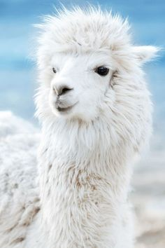 Alpaca by wang xin on Fluffy Animals, Animals And Pets, Baby Animals, Cute Animals, Alpacas, Images Lama, Llama Images, Llama Face, Cute Alpaca