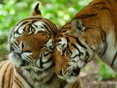 Tierliebe bei Tigern: Einfach schön    www.einfachtierisch.de