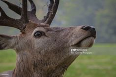 Stock Photo : Red Deer Stag