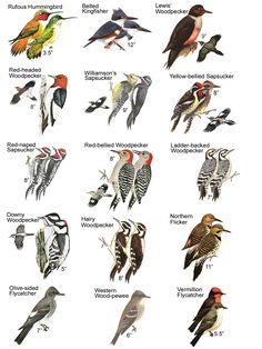 Bird Types Insect Identification, Bird Types, Bird House Plans, Animal Tracks, Woodpeckers, Owl Bird, Backyard Birds, Birds 2, Watercolor Bird