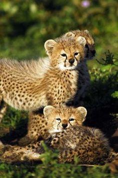 Baby Cheetah Cubs Cats Animals Cute