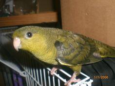 Lineolated parakeet Exotic Birds, Parakeet, Parrots, Pet Birds, Animals, Birds, Cockatoo, Animales, Animaux
