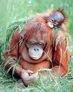 Lovely! This beautiful piece of art makes a nice accent in any home decor. If you have a little person in your life who loves to monkey around and simply can't sit still, then hang this wonderful Orangutan sitting with its baby animal art print poster might be just the decoration their bedroom wall needs! It goes well with all décor style. So what are you waiting for grab this wonderful wall poster for its durable quality and high degree of color accuracy.