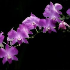 ~~ Purple Orchids ~~