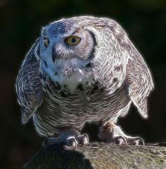 Great Horned Owl by Kulu40