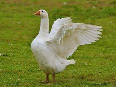 Find photos of Goose. Gaurd Dogs, Chicken Roost, Backyard Pavilion, Vertebrates, Nature Images, Livestock, Best Funny Pictures, Poultry, Swan