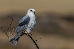White-tailed Kite   White-tailed Kite   Carl Woo   Flickr