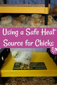 Baby chicks easily get cold, but traditional heat sources can be dangerous. I explain why and assess two of the safest brooder lamps available. Food For Chickens, Raising Meat Chickens, Raising Ducks, Raising Backyard Chickens, Baby Chickens, Brooder Box, Chicken Facts, Backyard Coop, Hatching Chickens