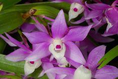 Rare Orchids Species | RARE Orchid Species Seedling Dendrobium Inoglossum | eBay