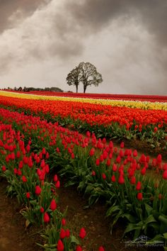 See Wooden Shoe Tulip Festival through the eyes of Sarah Bettey (Hood Photography). Even a cloudy day is beautiful with a colorful tulip field to enjoy. www.mthoodterritory.wordpress.com