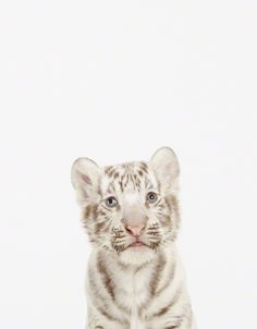 Baby White Tiger Close-Up from the Animal Print Shop by Sharon Montrose