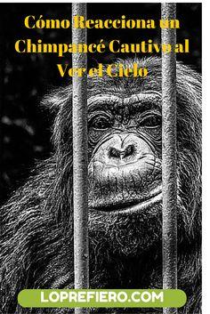 La reacción del chimpancé en este vídeo se debe a que ha vivido toda su vida en cautiverio y ve el sol por primera vez.