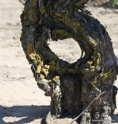 Seriously gnarly old vines in Lodi, California.