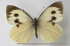 The Madeiran large white butterfly is now extinct. This female specimen was collected on Madeira