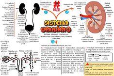 Mapas_mentais_-_sistema_urinário Renal Physiology, Anatomy And Physiology, Mental Map, Medicine Student, Study Board, Medical Anatomy, Study Tips, Pharmacy, School Bags