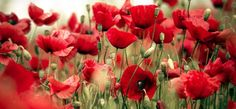 The remembrance poppy has been used since 1921 to commemorate military personnel who have died in war.