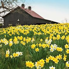 Planting Daffodils - I would love to plant one of our fields like this.: