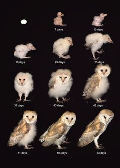 Egg to Barn Owl in 63 days! Barn Owl facts and fun for kids - The Barn Owl Trust Beautiful Owl, Animals Beautiful, Cute Animals, Owl Photos, Owl Pictures, Owl Facts For Kids, Owl Life, Nocturnal Birds, Amor Animal