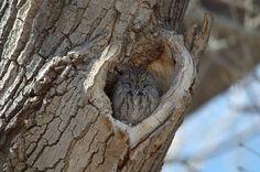 Western Screech Owl, Animals, Animales, Animaux, Animal, Animais