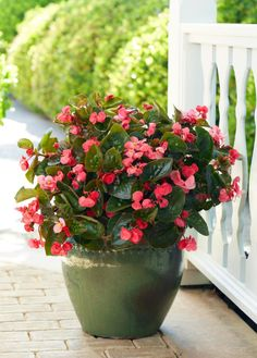 NGB Year of the Begonia: Begonias like Surefire Rose are great for hanging baskets, containers or garden beds. Give them sun or shade and they'll reward you with lots of lush color. Outdoor Flowers, Outdoor Plants, Garden Plants, Shade Garden, Garden Beds, Outdoor Gardens, Flowering Plants, Begonia, Plant Design
