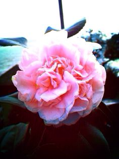 One camelia from my garden at Pedale