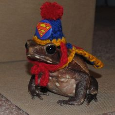 Tiny Superman Hat and Cape for Bearded Dragons Guinea Pigs Ferret Rats Hamsters Birds Frogs Toads Lizards Tiny Halloween Costume by Fancihorse on Etsy Halloween Costume Hats, Pet Costumes, Halloween Kostüm, Superman Halloween, Frog Pictures, Cute Frogs, Frog And Toad, Frog Frog, American Greetings
